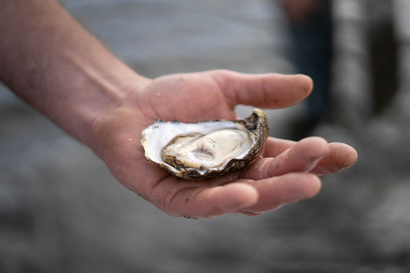 Fresh Oyster in hand