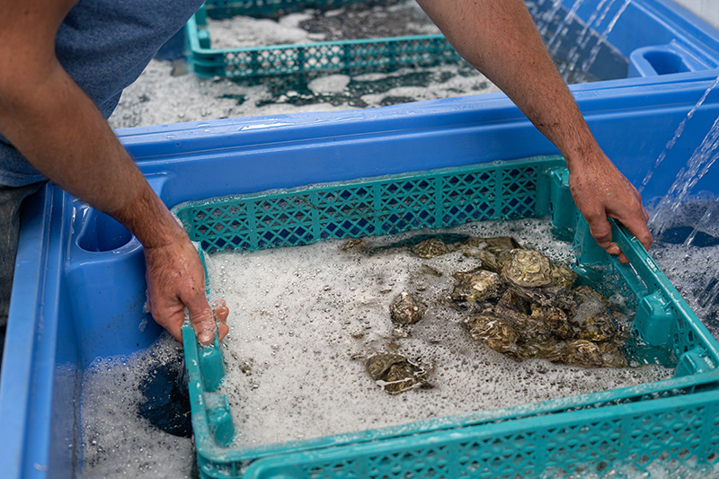 Purifying Fresh Oysters