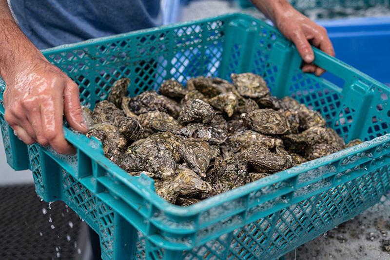 Harvesting Fresh Oysters