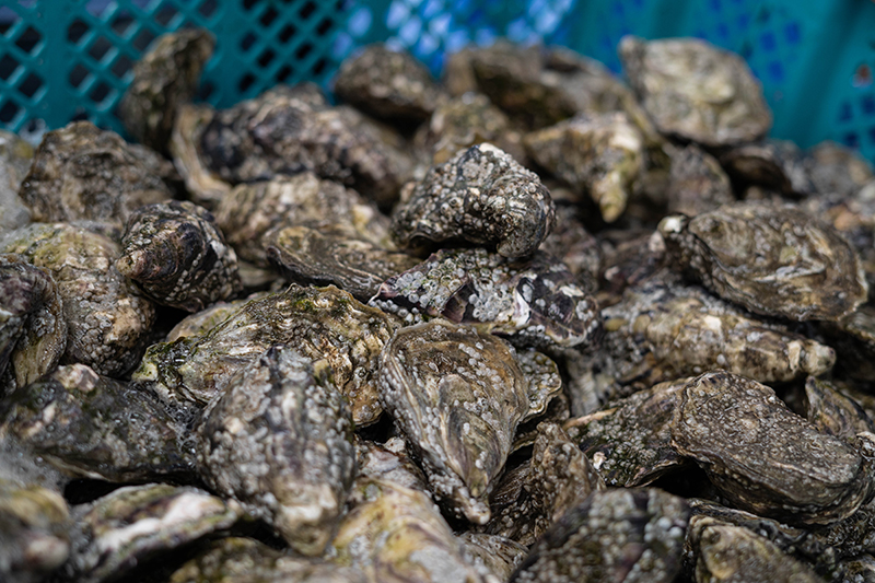 Fresh Oysters being processed